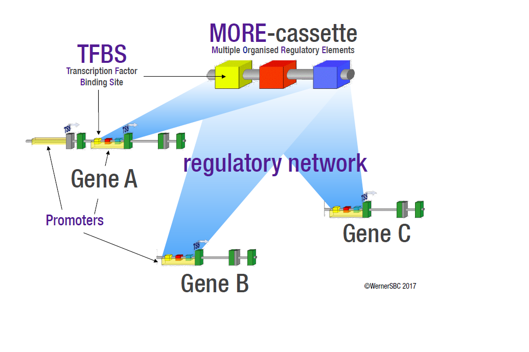 Illustration of the action of MORE cassettes in regulatory networks